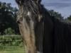 YDC-Paarden-NR0016-1-van-1
