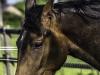 YDC-Paarden-NR0018-1-van-1