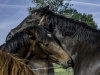 YDC-Paarden-NR0022-1-van-1