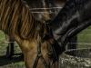 YDC-Paarden-NR0024-1-van-1