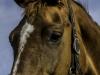 YDC-Paarden-NR0030-1-van-1
