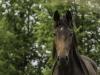 YDC-Paarden-NR0035-1-van-1