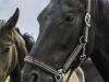 YDC-Paarden-NR0043-1-van-1